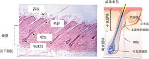fig1.jpg成体毛包