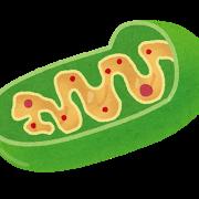 saibou_mitochondriaミトコンドリア