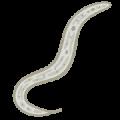 animal_senchu線虫
