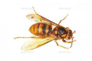 キイロスズメバチの女王